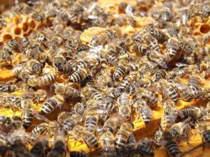 Le miel va-t-il devenir un aliment rare ?